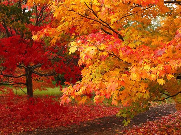 Rừng phong chuyển dần sang màu vàng và màu đỏ khi mùa thu đến