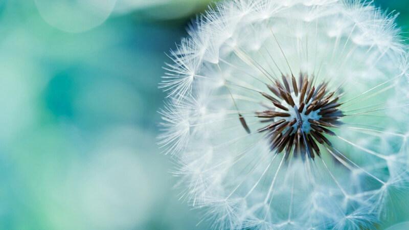 Những câu nói ý nghĩa về hoa bồ công anh