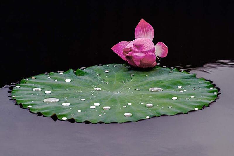 câu nói ý nghĩa về hoa sen