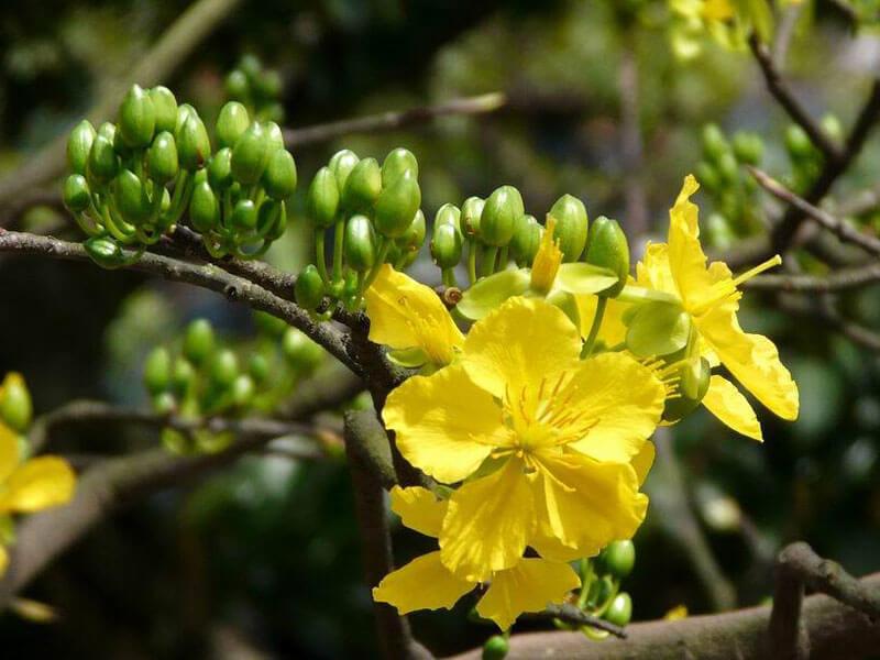 Hoa mai 5 cánh