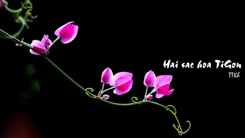ý nghĩa bài thơ hai sắc hoa tigon