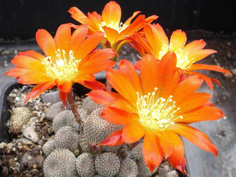 Hoa xương rồng cam