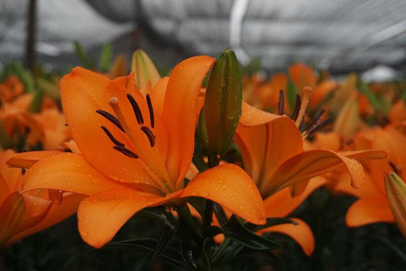 Hoa ly cam
