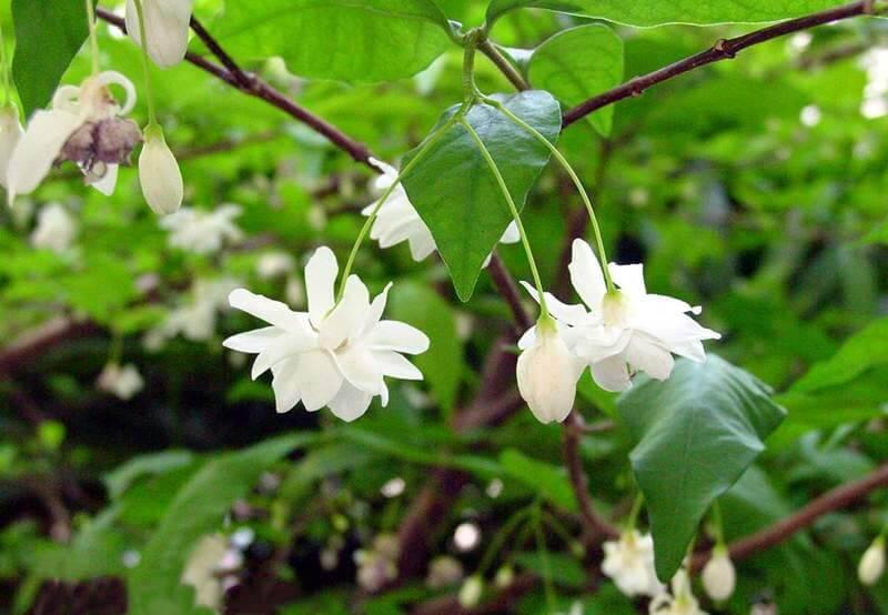 Hoa mai chiếu thủy