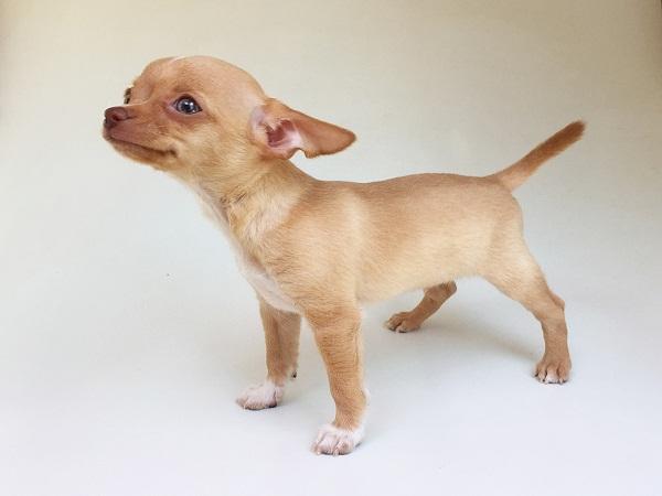 Chó Chi huahua