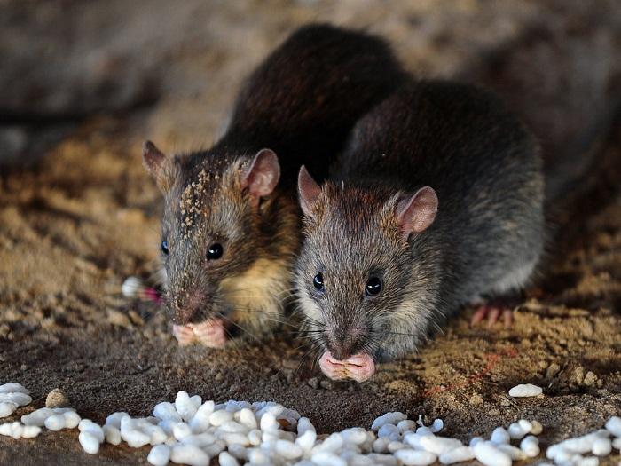 chuột ăn thóc