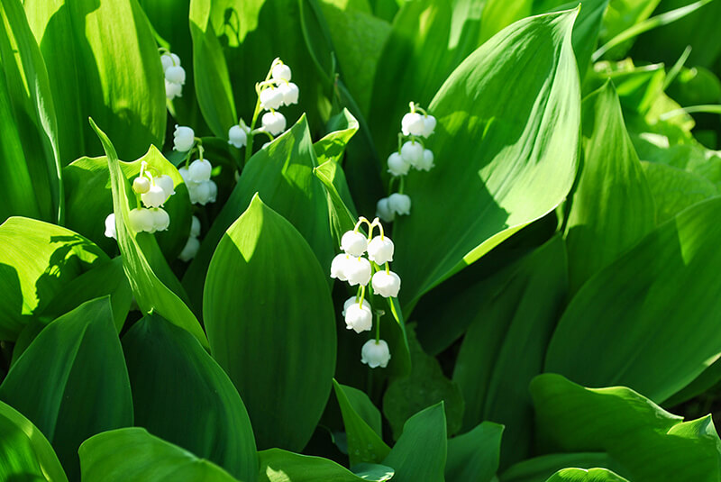 Công dụng của hoa Linh Lan, hoa Lan Chuông.