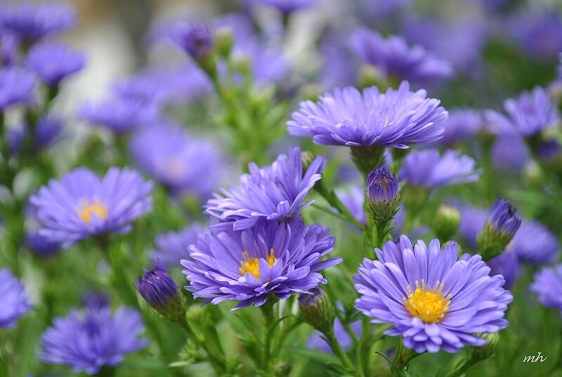 Đặc điểm và nguồn gốc hoa thạch thảo