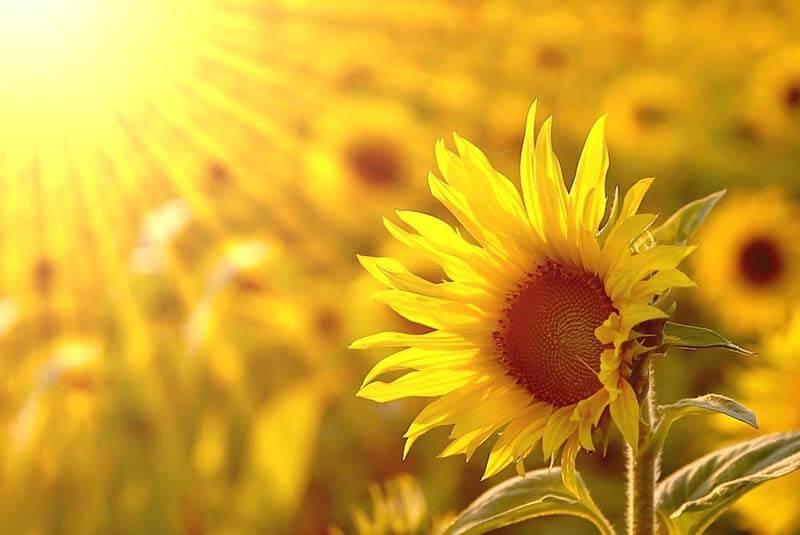 hình ảnh đẹp về hoa hướng dương