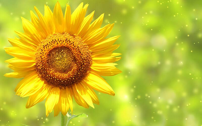 hoa hướng dương tỏa sáng