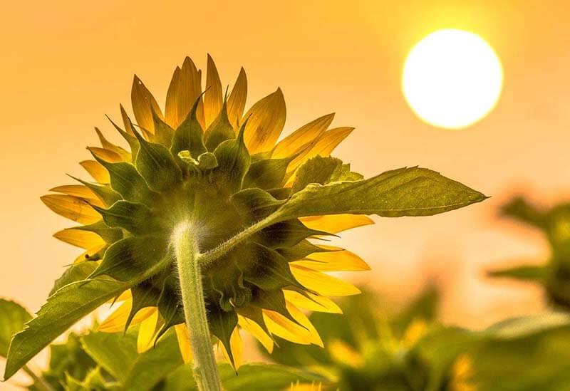 Hướng dương luôn hướng về mặt trời