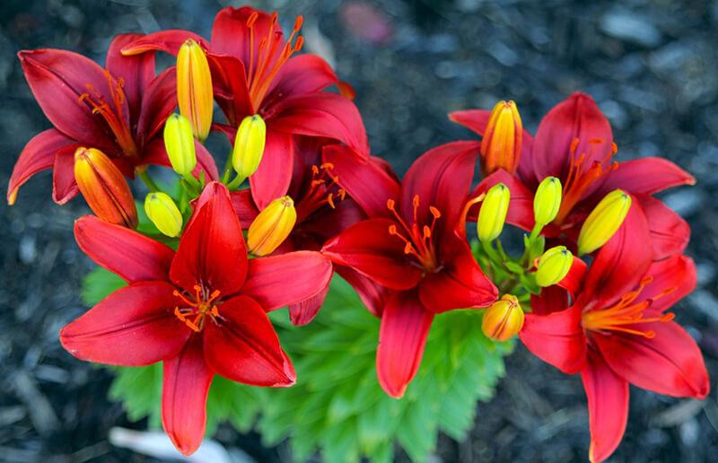 Hoa Ly đỏ
