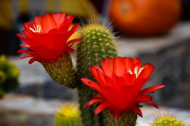 Hoa xương rồng đỏ