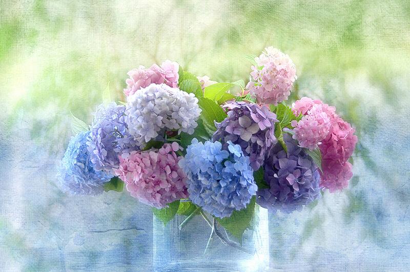 hình ảnh đẹp của hoa cẩm tú cầu