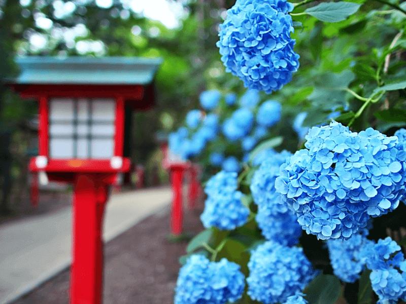 Hình đẹp của hoa cẩm tú cầu màu xanh
