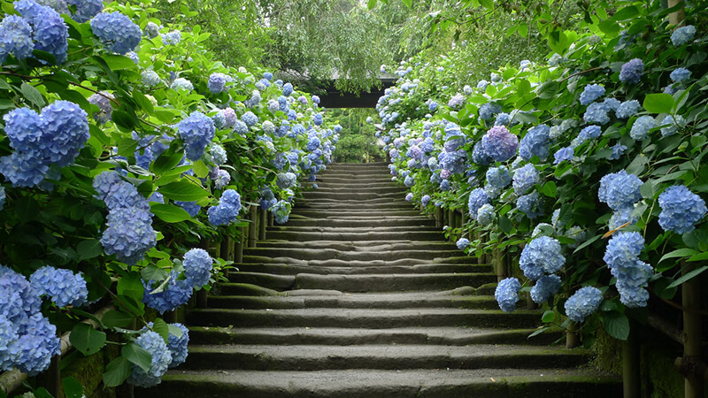 Con đường hoa cẩm tú cầu