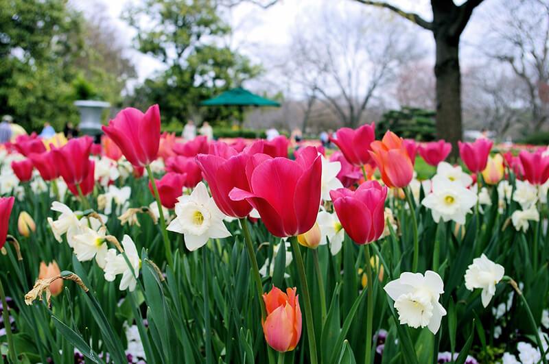 Nguồn gốc hoa Tulip