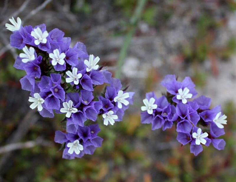 Đặc điểm của hoa Salem