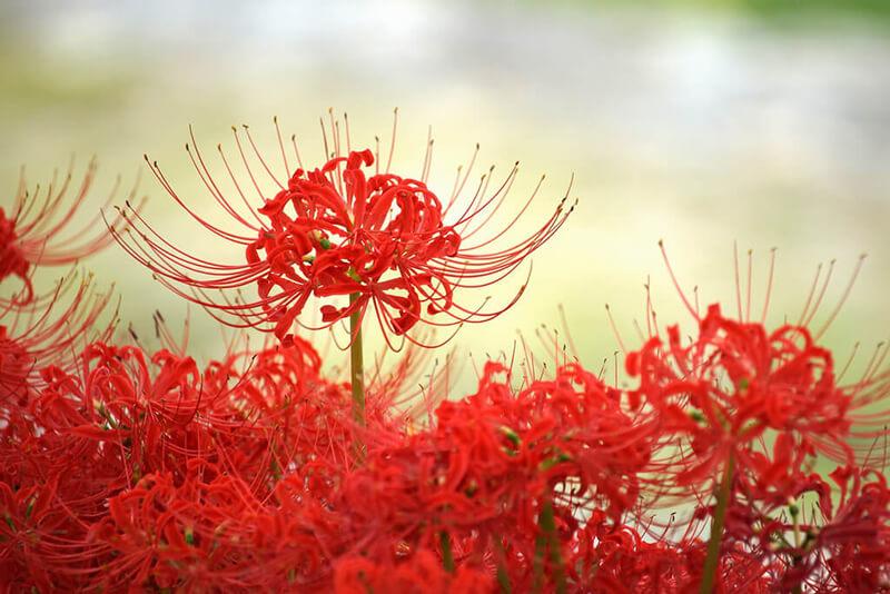 Ý nghĩa hoa Bỉ Ngạn trong tình yêu