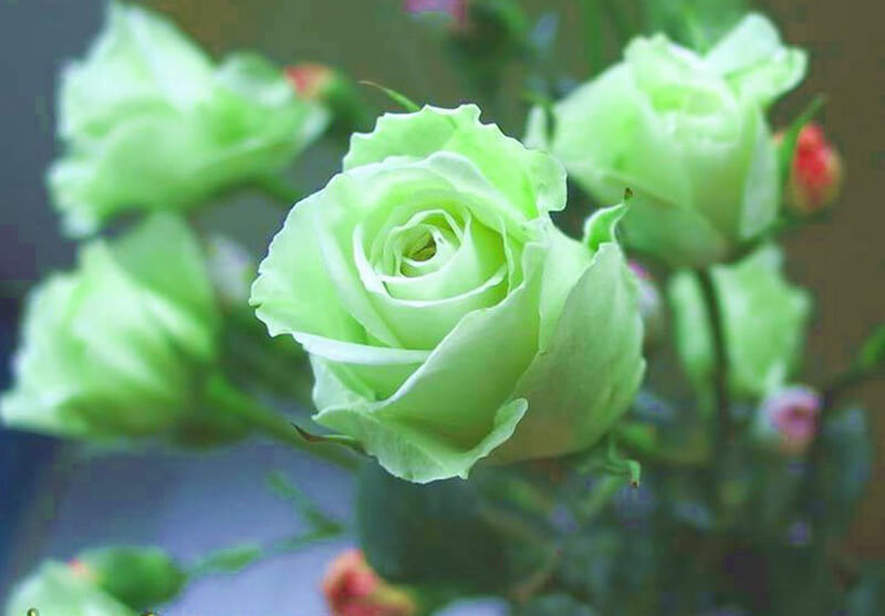 Hoa hồng xanh lá cây