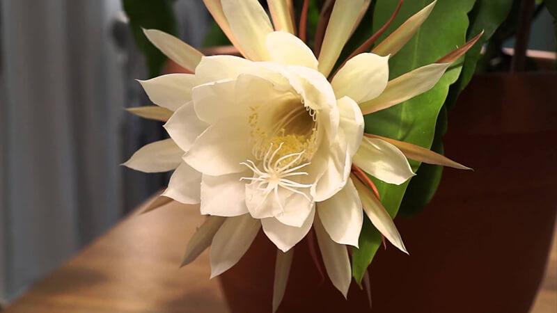 nguồn gốc của hoa quỳnh