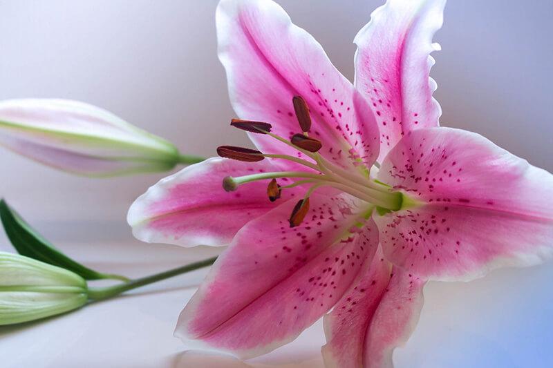 Hoa ly hồng (tiger)