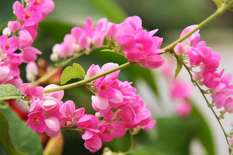 Hoa Tigon Hồng
