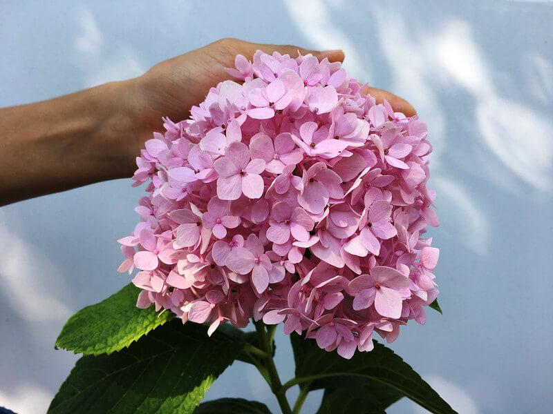 Hoa cẩm tú cầu màu hồng