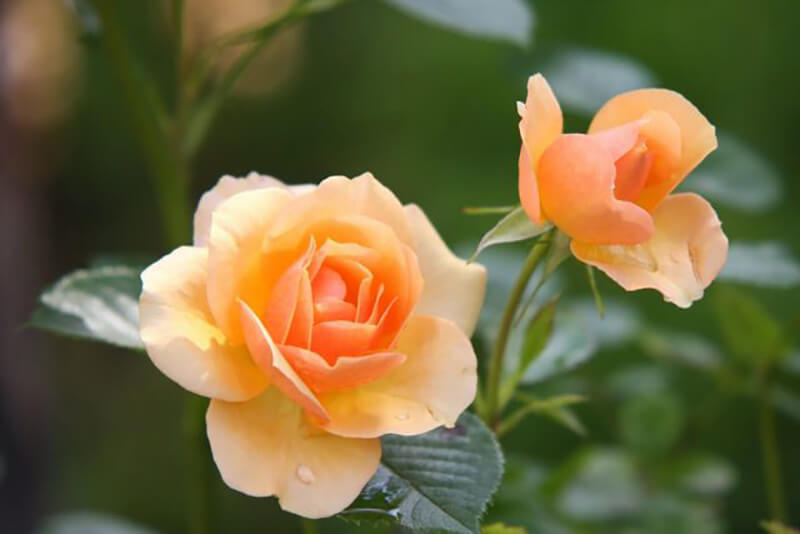 Hồng cam