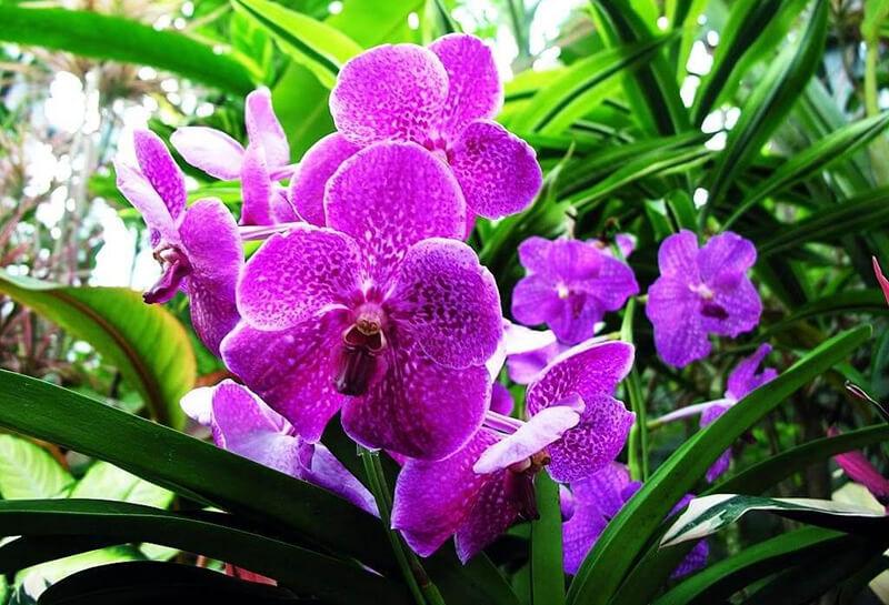 Nguồn gốc của hoa lan