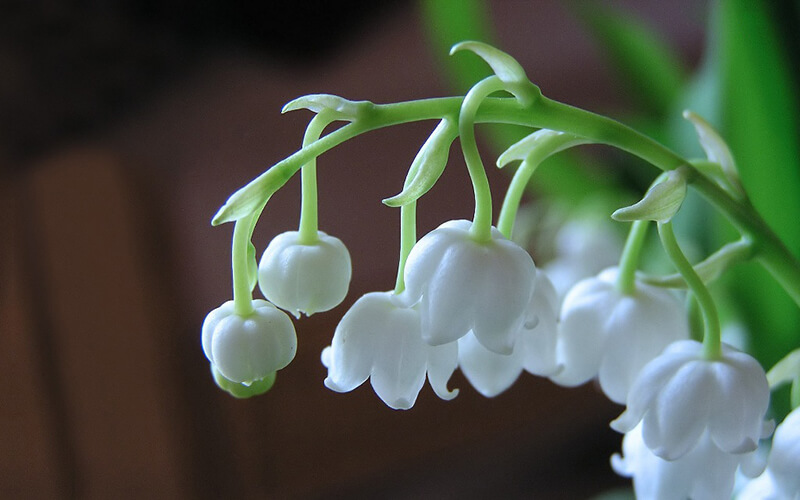Hoa lan chuông