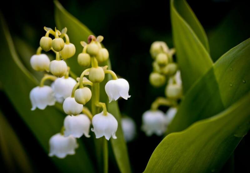 Ý nghĩa hoa linh lan