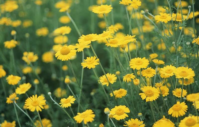 Hoa cúc mặt trời