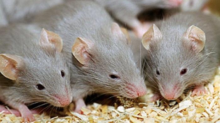 một bầy chuột