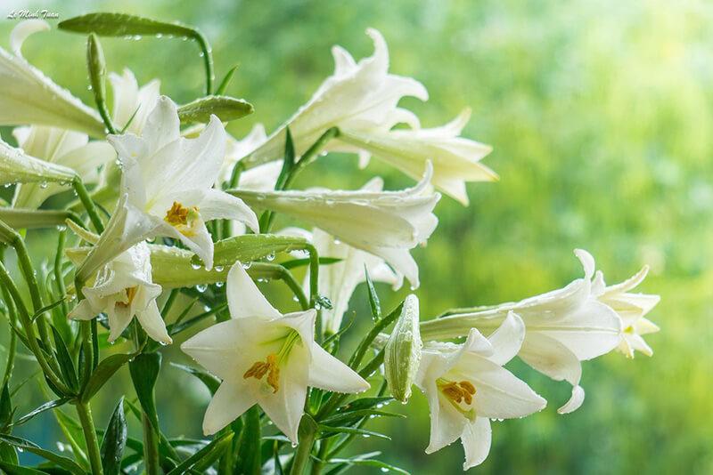 Nguồn gốc hoa loa kèn