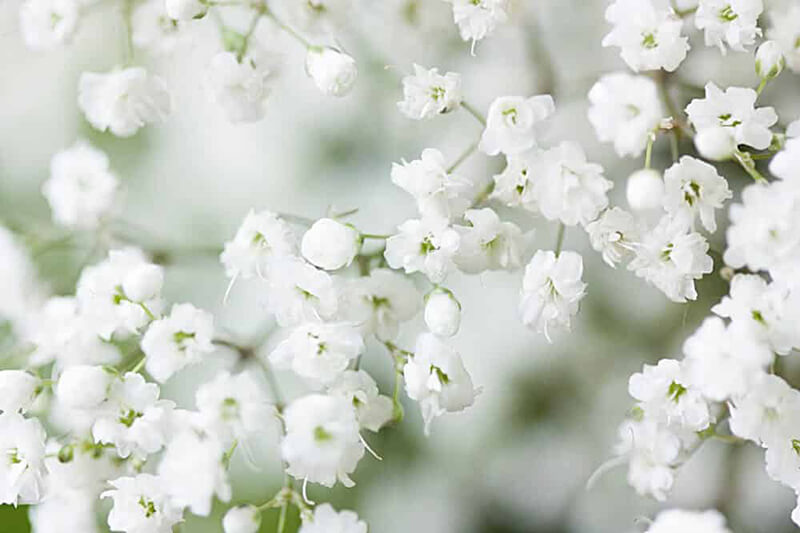 Nguồn gốc của hoa baby