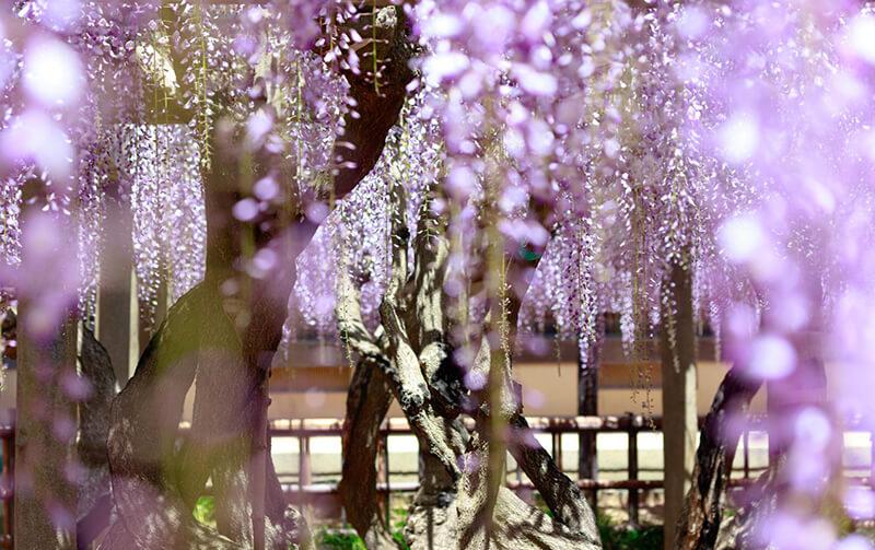 Hoa tử đằng Nhật bản