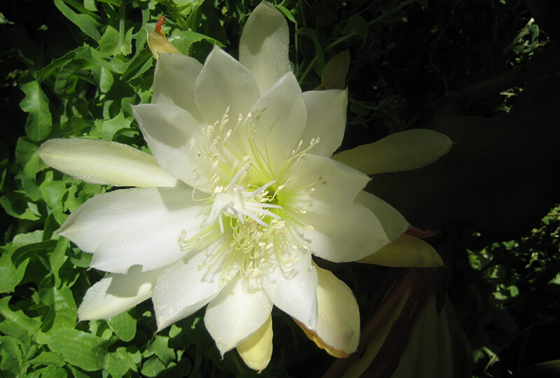 hoa quỳnh - nữ hoàng bóng đêm