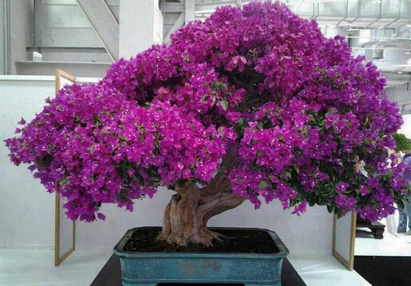 Ý nghĩa phong thuỷ của hoa đỗ quyên