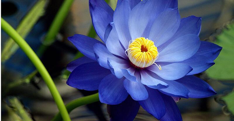 Hoa sen xanh