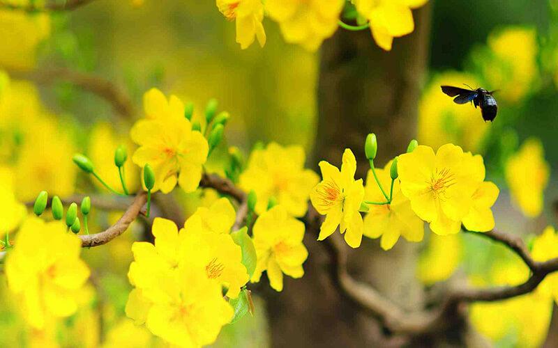 Sự tích về hoa mai ngày tết