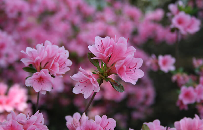 Sự tích về loài hoa đỗ quyên