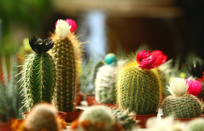 Tặng hoa xương rồng có ý nghĩa gì