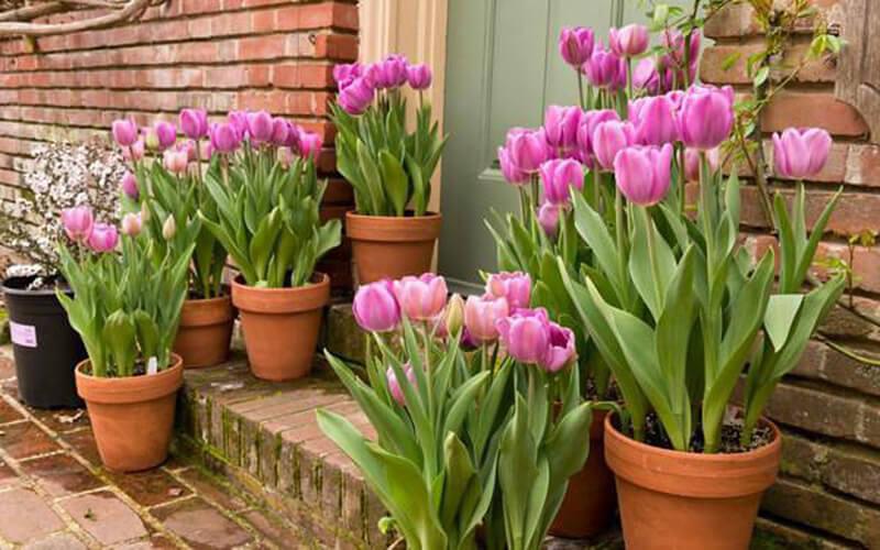 Cách trang trí hoa Tulip ngày tết
