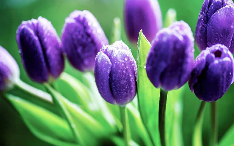 Hoa tulip tím