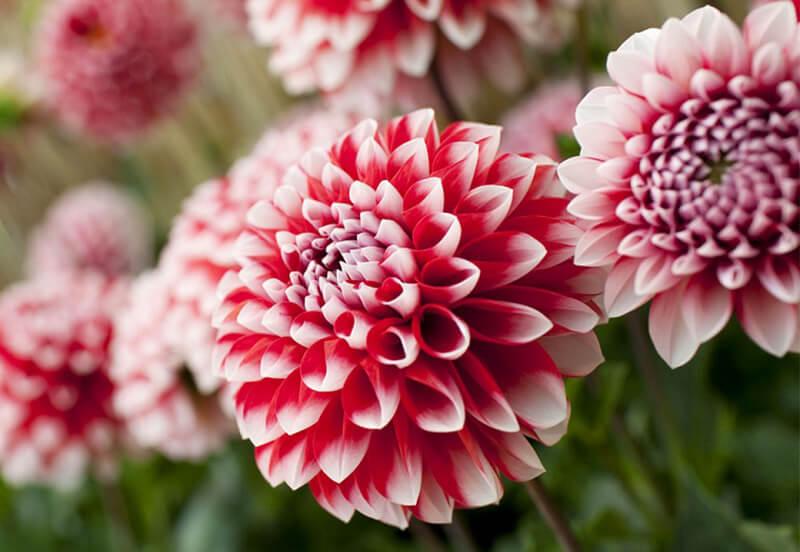 Ý nghĩa hoa thược dược trong tình yêu