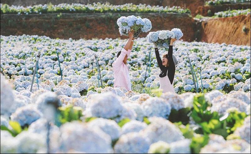 Ý nghĩa hoa cẩm tú cầu trong tình yêu