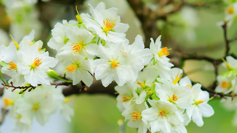 ý nghĩa hoa mai trắng