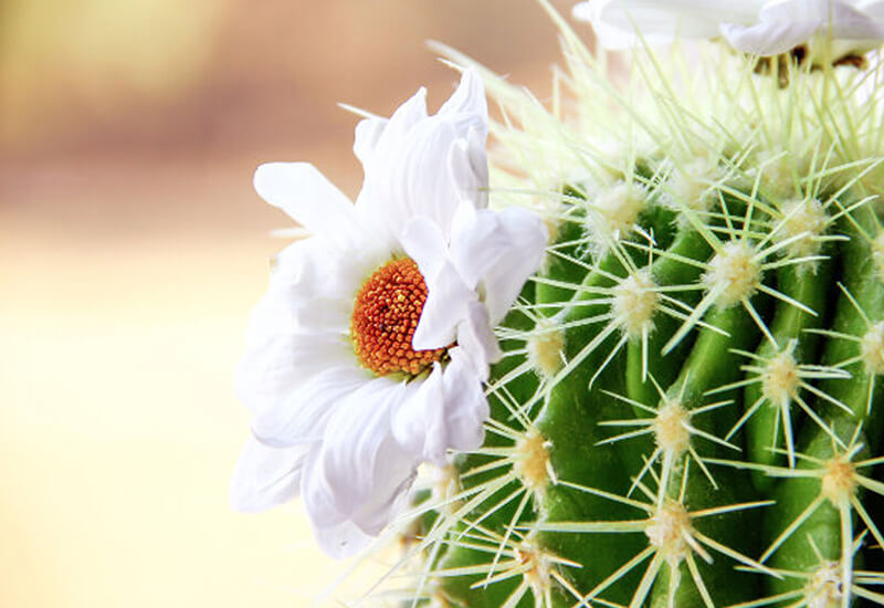 Hoa xương rồng trắng