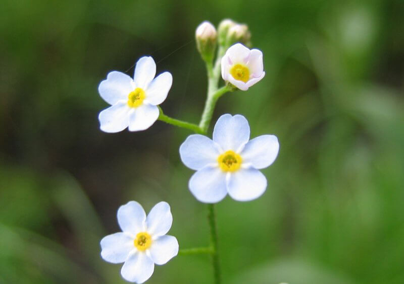 Hoa Lưu Ly trắng